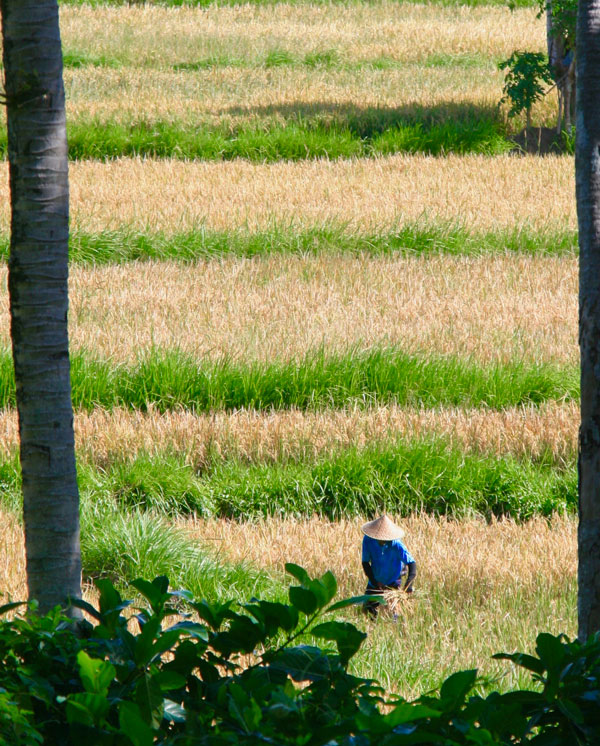 Men work in the rice fields in Ubud, Bali, Indonesia